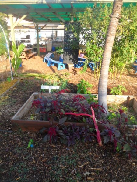 Happy plants at the Kihei School garden 2015